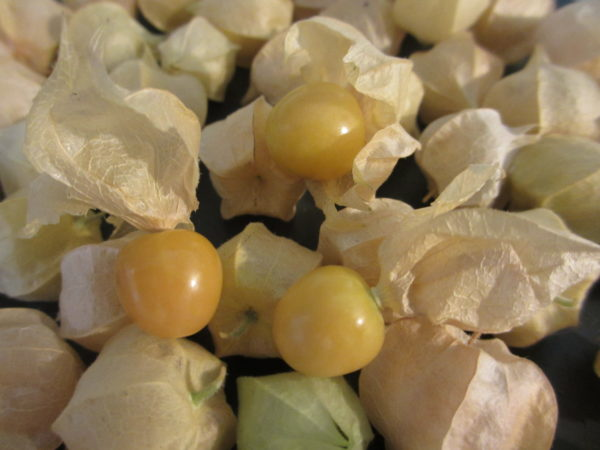 Ground Cherry Aunt Molly's