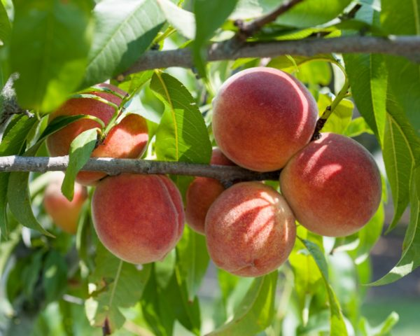 Peach Tree Redhaven