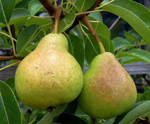 Pear tree Beauté flammande