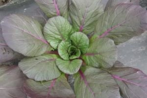 Tatsoi, Rainbow or Rosette