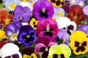 Swiss Giants Mix Pansy