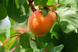 Apricot Morden