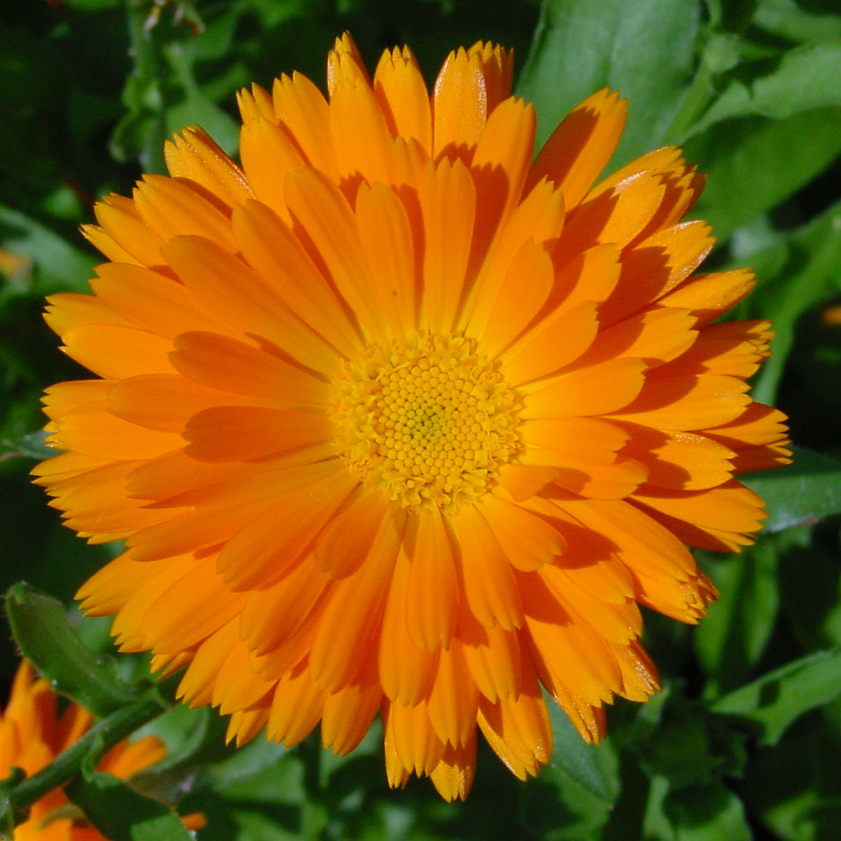Calendula – Single Orange