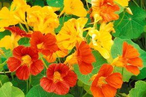 flowers-nasturtium.jpg