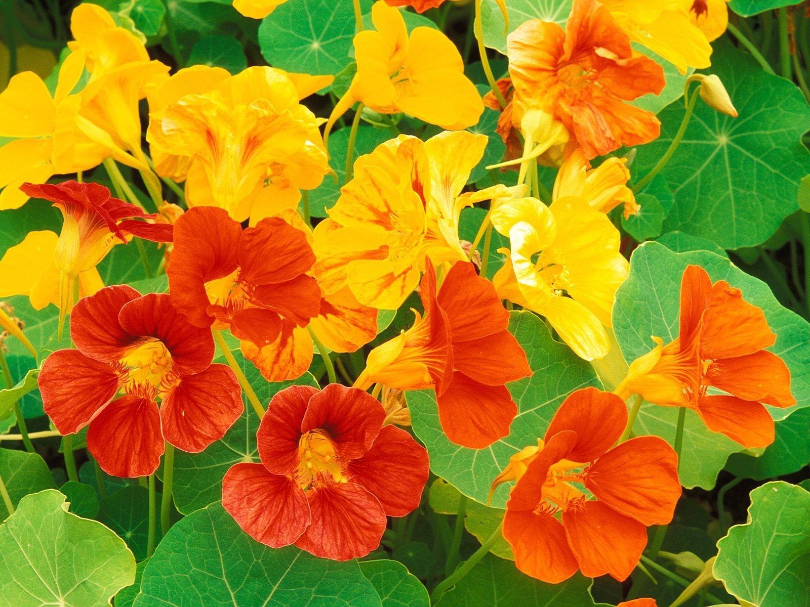 Image result for nasturtiums