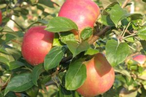 Apple - Honeycrisp