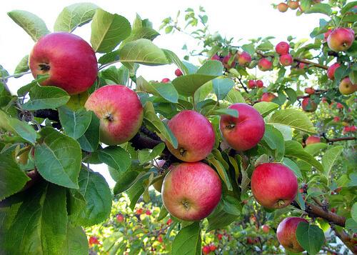 Apple - Parkland