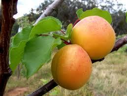 Apricot - Morden