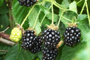 Blackberry - Perron noir