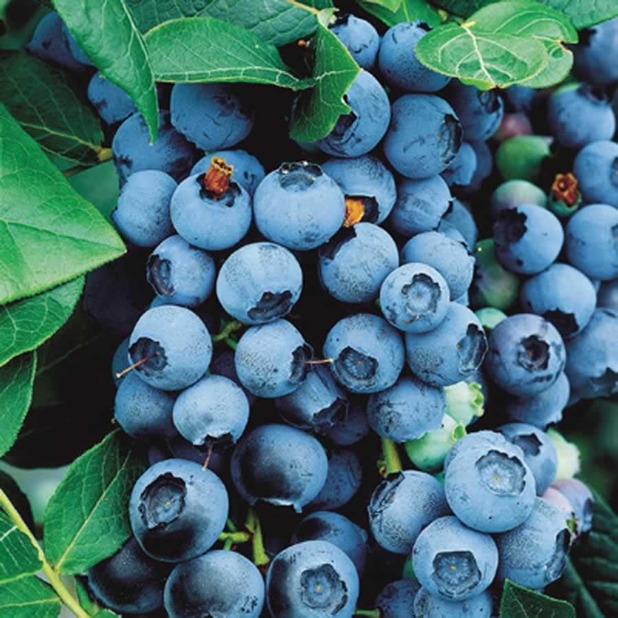blueberry bluecrop urban seedling