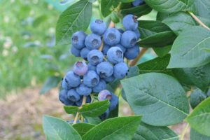 Blueberry - Northland