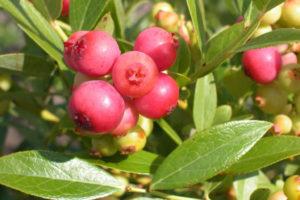 Blueberry - Pink Lemonade