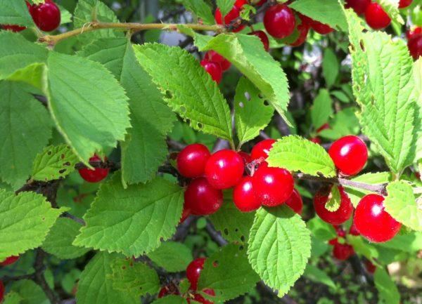 Cherry - Crimson Passion
