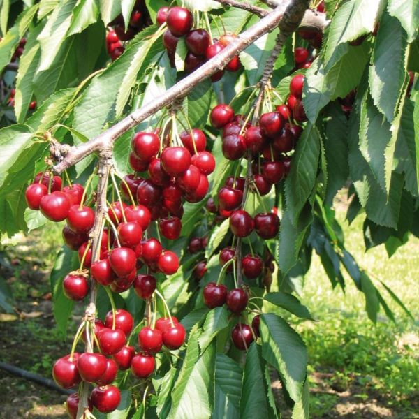 Cherry - Stella