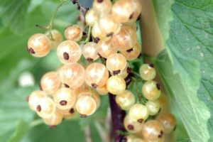 Currant - White Pearl