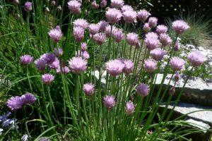 herbs-chives-original.jpg