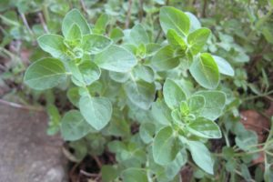 herbs-oregano-greek.jpg