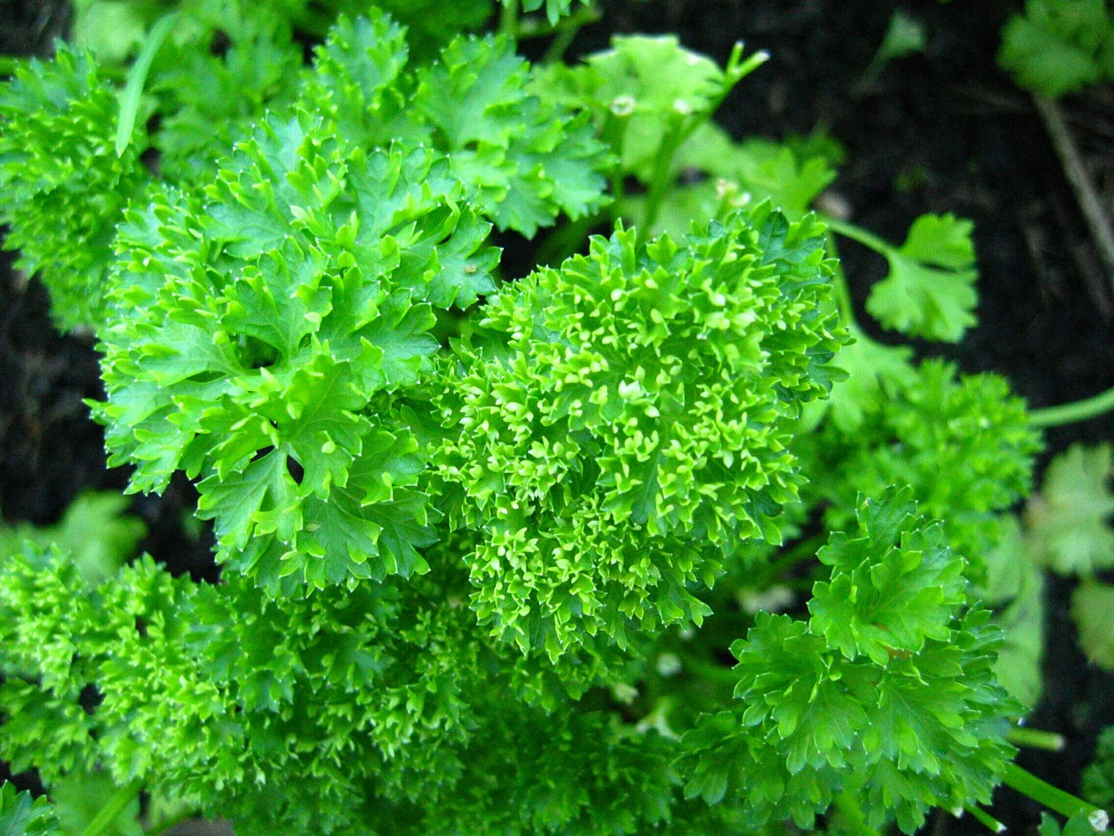 parsley curly urban seedling