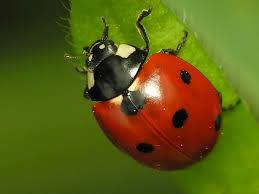 Pest Control - Lady Bugs