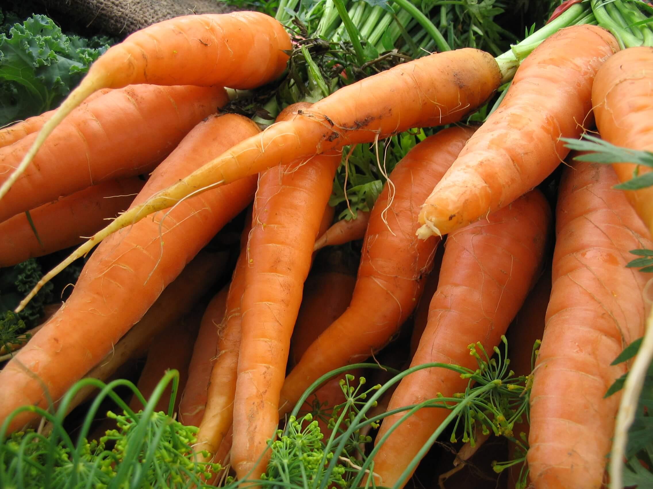 Carrot - Scarlet Nantes - Urban Seedling