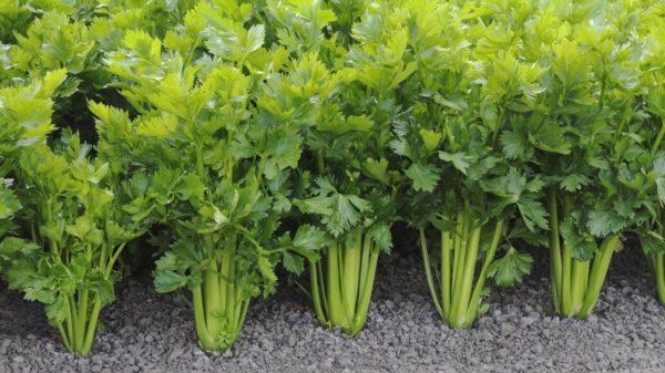 Celery - Utah