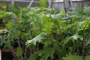 vegetables-kale-red-russian.jpg