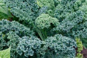 vegetables-kale-vates-blue-curled-scots.jpg