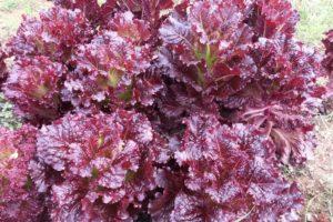 vegetables-lettuce-merlot.jpg