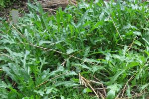 vegetables-roquette-wild-sylvetta.jpg