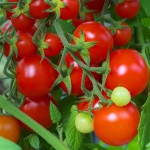 Tomato - Tommy Toe (red cherry)