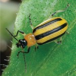 Stripped Cucumber Beetle