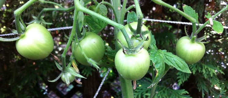 Tomates biologiques vertes