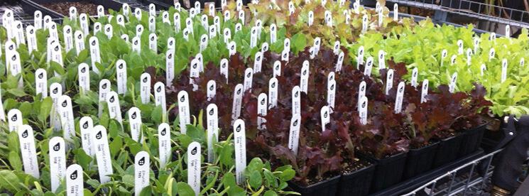 Semis pour plantation d'automne