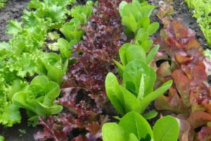 Lettuce mix rows