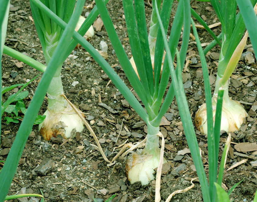 "Picture of Live Onion Walla Walla Wash JB Vegetables Plant Fit 4"" Pot"