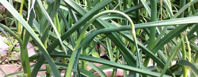 Jardin oignon vert
