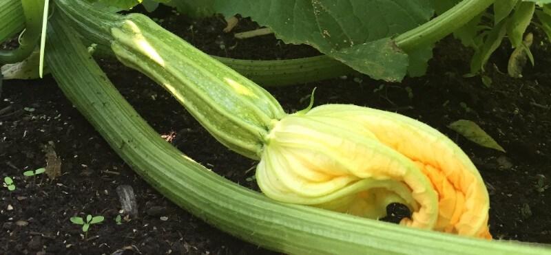 Les tomates les concombres et les haricots semis urbains for Entretien concombre jardin