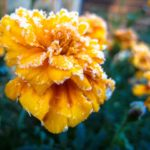 Frosting flower
