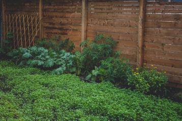 Urban Clover Lawn Urban Seedling