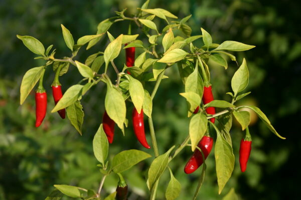 Ripe thai dragon hot pepper