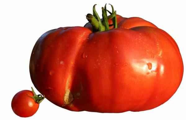 Big Beef tomato next to cherry tomato