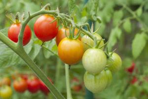 Mini orange tomato plant